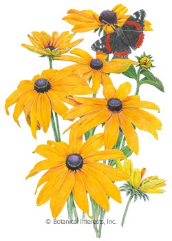 Rudbeckia Black-Eyed Susan Seeds