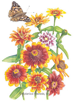 Zinnia Persian Carpet HEIRLOOM Seeds