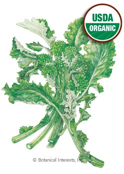 Broccoli Raab Rapini Organic HEIRLOOM Seeds