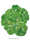 Bok Choy Tatsoi Rosette HEIRLOOM Seeds