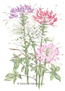 Cleome Spider Flower Fountain Blend HEIRLOOM Seeds
