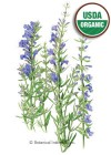 Hyssop True Hyssop Organic HEIRLOOM Seeds