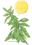 Basil Lemon Mrs. Burns HEIRLOOM Seeds