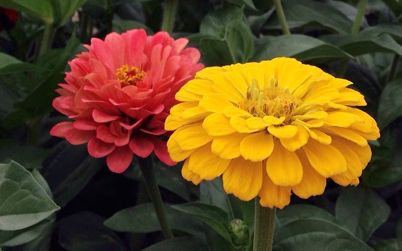 Zinnia: Sow and Grow Guide